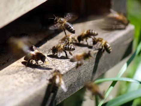 Az új peszticid éppúgy árthat a méheknek, mint azok, amelyek helyettesítésére szánták