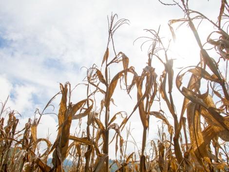 Legalább hárommilliárd eurós kárt okozott az aszály a német gazdáknak
