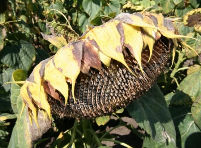 Növényvédelmi előrejelzés: Indul a nyár végi betakarítás