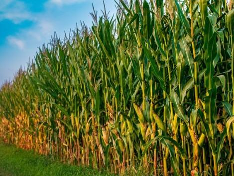 Kukorica: Jó árakra és erős versenytársakra számíthatunk