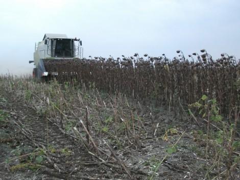 Napraforgó: az aszály miatt romlottak a terméskilátások
