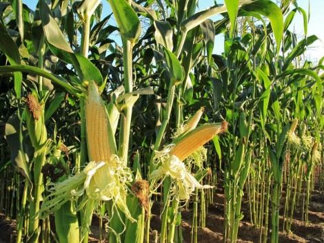 Rekordközeli kukoricatermésre számíthatunk – hogyan reagál erre a piac?
