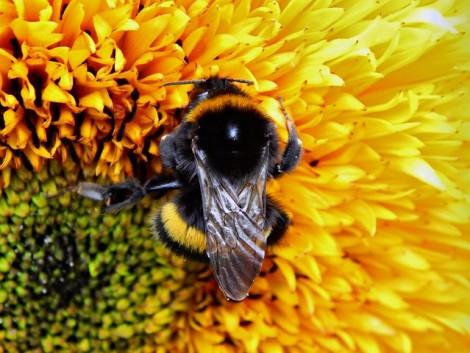 A méhek rá is szokhatnak a peszticidekre, mint a kábítószerre