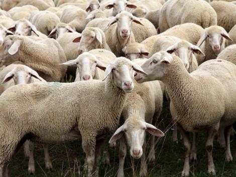 Újraindulhat a szarvasmarhák és juhok exportja Törökországba