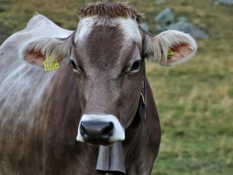 A svájci gazdák kisebb és kevésbé éhes teheneket szeretnének