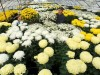 Virágtermesztők: A krizantém a legnépszerűbb, ám a termés csökkent idén
