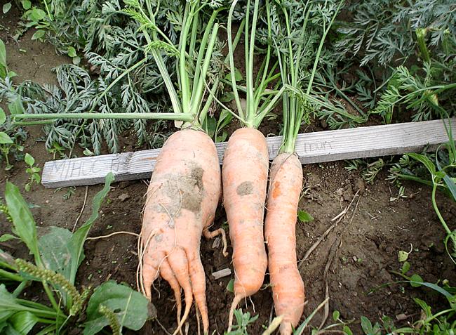 Gyökérzöldségfélék fejlődési rendellenességei – mi okozza, hogyan akadályozzuk meg?
