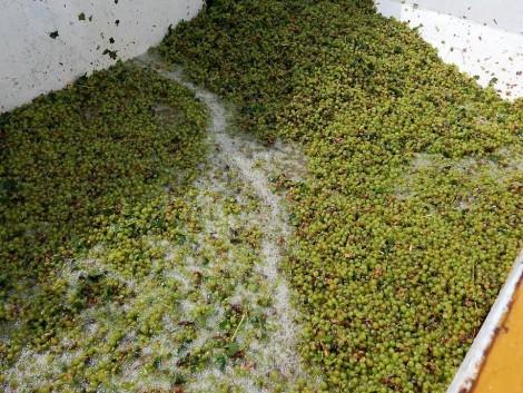 Az utóbbi évek legjobb szőlő- és bortermése várható idén