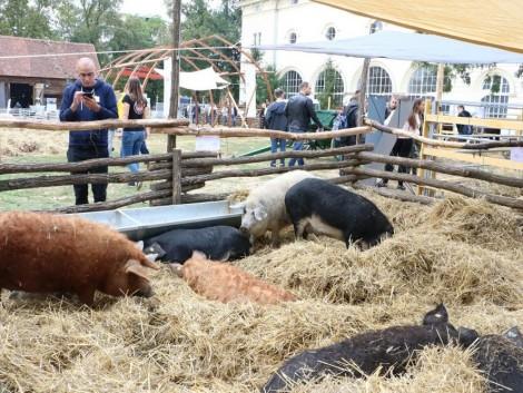 Új pályázatok – 73 millió forint a sertéságazat piaci megjelenésére