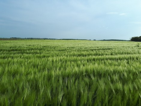 Mire figyeljünk őszi kultúráink nitrogénellátásánál?