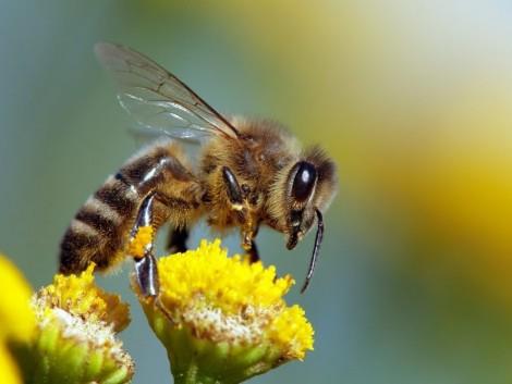 Gombák is segíthetnek a háziméhek egészségének javításában