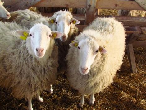 AM: az új állattenyésztési törvény a magyar tenyésztők érdekeit szolgálja