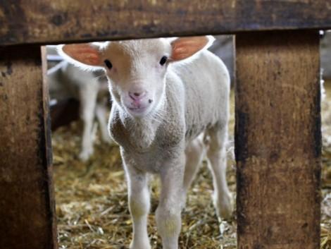 Tovább drágulhat a bárányhús