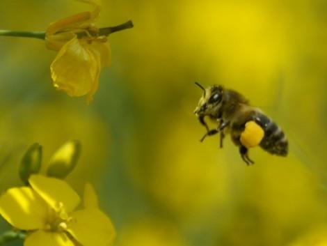 Hogyan védekezzünk a repcében hatékonyan, a méheket védve és megakadályozva a rezisztenciát?