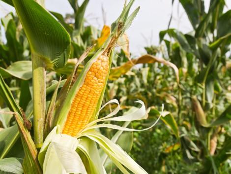 A kiváló kukoricatermés nyomában még a polgármesterhez is bementünk – VIDEÓ