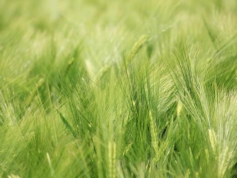 Vetőmaghiány is lehet – tovább csökken a tavaszi árpa és a zab vetésterülete