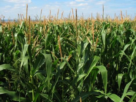 Rekordokat döntő kukoricahibridek
