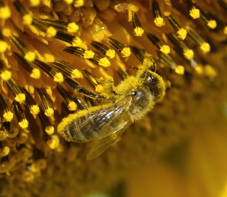 Így védekezzünk napraforgóban és repcében hatékonyan és a méheket i ... e3901b96e8