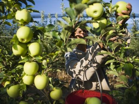 Eurostat: Magyarországon közel 36,3 ezer hektáron termelnek gyümölcsöt