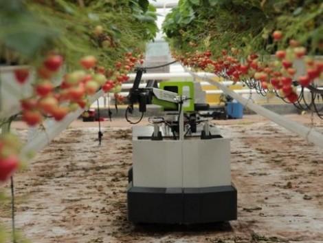 Földieper-betakarító robot, amely még a termék jobb minőségét is garantálja