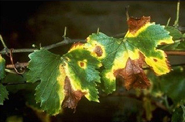szőlő Pierce betegség