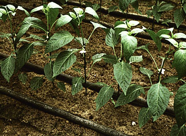 A talajjal nincs gond, a növény mégis tápanyaghiányban szenved – mit tegyünk?