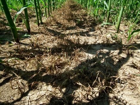 Újabb kihívás előtt állnak a kukoricatermesztők