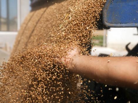 Oroszországban idén is rekordnagyságú gabonatermést várnak