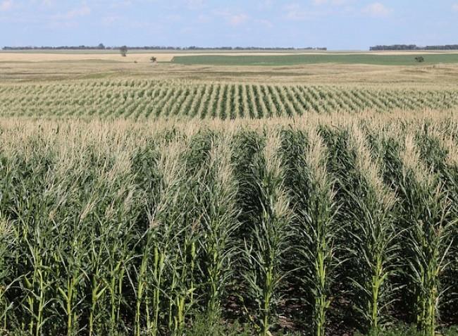 Az olcsó ukrán kukorica elárasztja a piacot