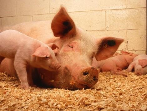 Több tízmilliárd forintos piac nyílhat meg a magyar sertéságazatnak