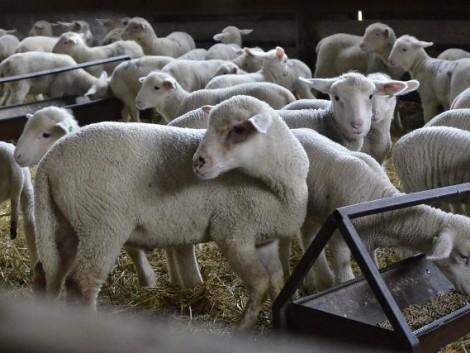 Örülhetnek a juhtartók, élénk a kereslet a bárányok iránt