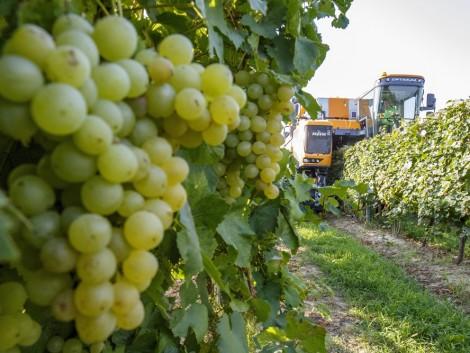 AM: A felvásárló borászatok tekintsenek partnerként a szőlőtermelőkre