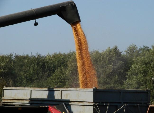 Emelkedhet a magyar kukorica ára
