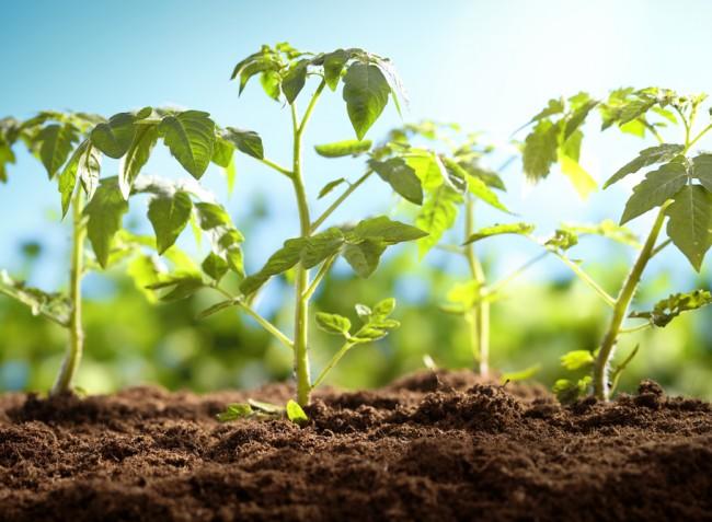 """Stresszel """"irányított"""" növényfejlődéssel segíthetünk a megviselt állományokon"""