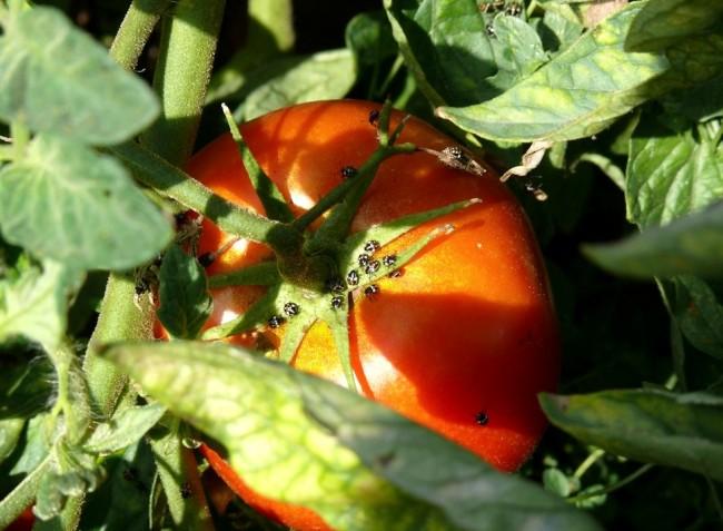 Növényvédelmi előrejelzés: Megindult a poloskák inváziója a kertekben