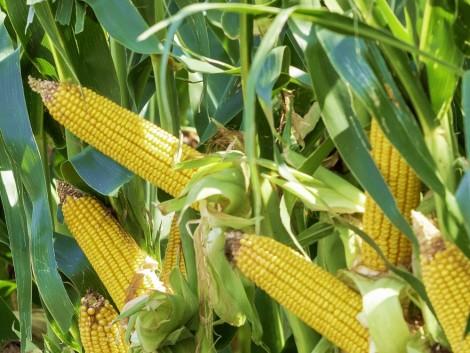 Már Magyarországon is öntöznek kukoricát csepegtető rendszerrel