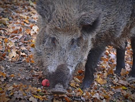Eddig kétezer vaddisznó pusztult el sertéspestisben Magyarországon