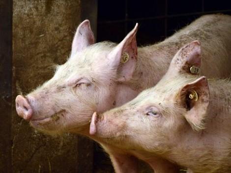 Továbbra is az egekben az élőállatok és állati termékek ára
