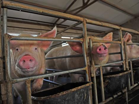 Románia: Újabb 13 ezer sertés leölése mellett döntöttek