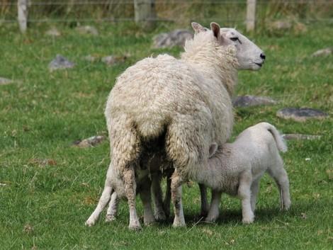 Miért fontos a bárányvitalitás?