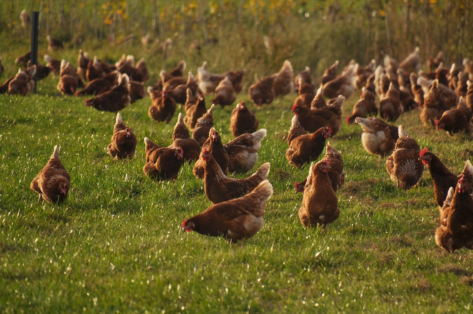 csirke