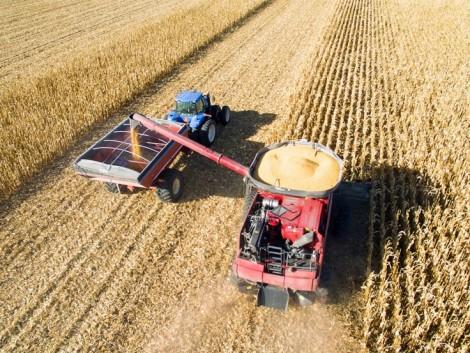 Folyamatosan vásárolják fel a magyar kukoricát