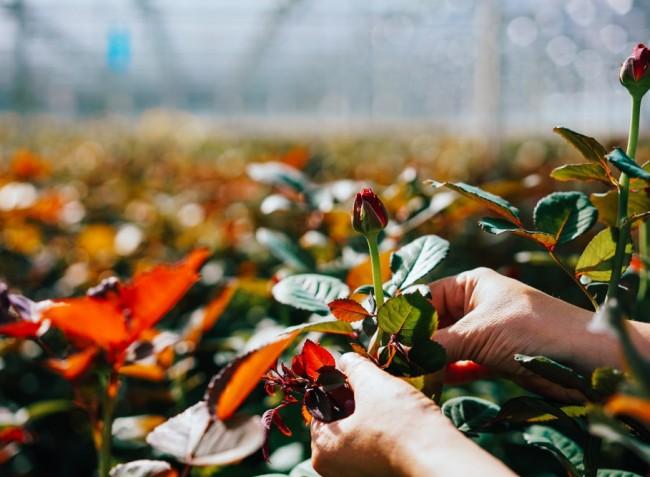Mit tegyünk a rózsákkal az ősz utolsó napjaiban?