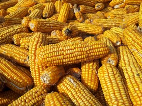 Az olcsó ukrán kukorica nem várt hatása