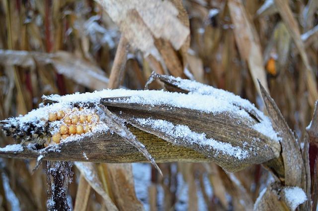 fagyos kukorica