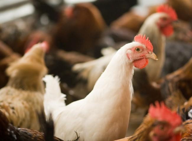 A mikotoxinok súlyosbítják a madarak veszélyes betegségét, a kokcidiózist