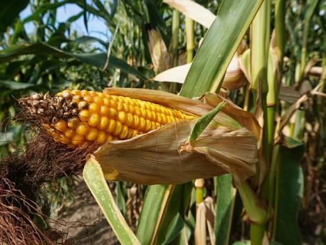 A magas terméshozamot már a kukorica fejlődésének kezdetén meg kell alapozni!