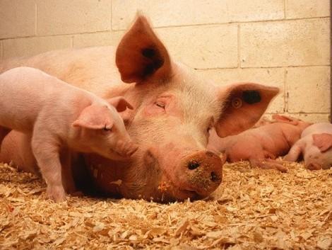 Nincs már sok idő beadni a sertés állatjóléti kérelmet!