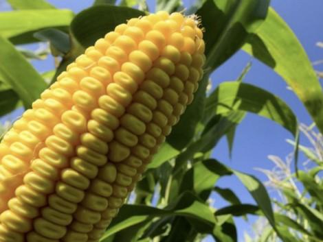 Így hozhatod ki a legtöbbet a kukoricádból – hibridekre szabott vetés és műtrágyázás