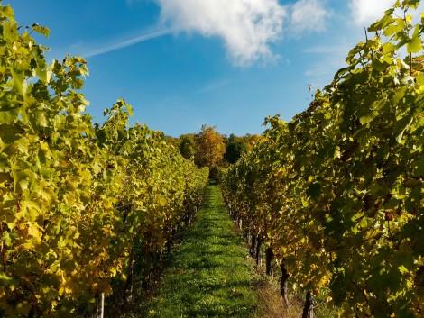 Januárban igényelhető a szőlőültetvények fejlesztésére szolgáló támogatás